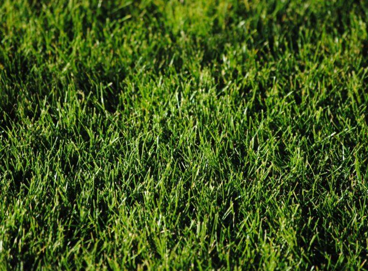 trawa ogrodowa